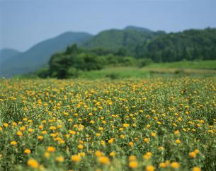 紅花  7月  山形県の写真素材 [FYI03997616]