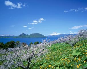 梅林と洞爺湖 北海道の写真素材 [FYI03998700]
