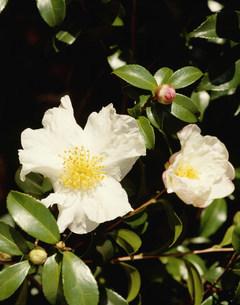 サザンカの花の写真素材 [FYI03999238]