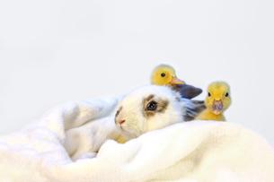 子うさぎと2羽のアヒルの雛の写真素材 [FYI04008361]
