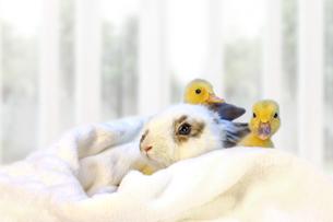 子うさぎと2羽のアヒルの雛の写真素材 [FYI04008362]