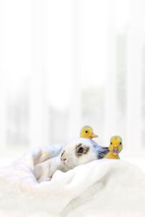 子うさぎと2羽のアヒルの雛の写真素材 [FYI04008364]