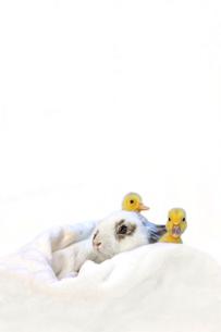 子うさぎと2羽のアヒルの雛の写真素材 [FYI04008365]