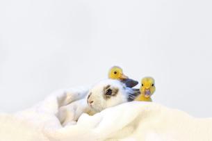 子うさぎと2羽のアヒルの雛の写真素材 [FYI04008419]