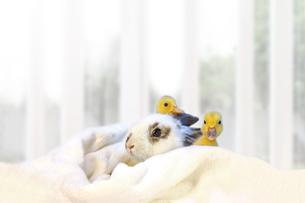 子うさぎと2羽のアヒルの雛の写真素材 [FYI04008421]