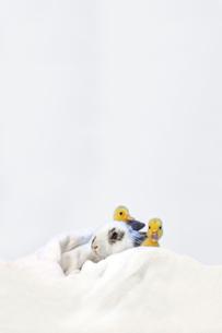 子うさぎと2羽のアヒルの雛の写真素材 [FYI04008423]