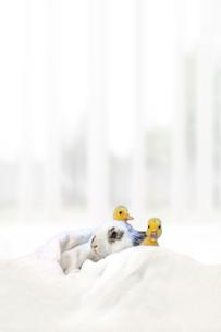 子うさぎと2羽のアヒルの雛の写真素材 [FYI04008426]