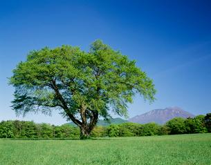 新緑の大木と岩手山の写真素材 [FYI04009549]