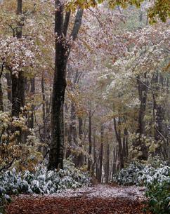 初冬のブナ林の写真素材 [FYI04009563]