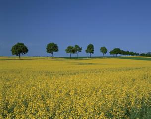 菜の花畑と並木の写真素材 [FYI04009608]