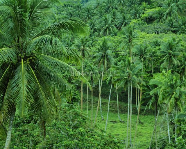 椰子の木繁るの写真素材 [FYI04009645]   ストックフォトのamanaimages ...