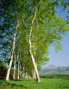 白樺並木と岩手山 東八幡平の写真素材 [FYI04009650]