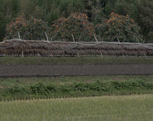秋の田園と柿の木の写真素材 [FYI04009699]