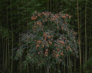 柿の樹と竹林の写真素材 [FYI04009723]