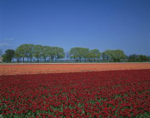 チューリップ畑と並木 5月 オランダの写真素材 [FYI04009739]