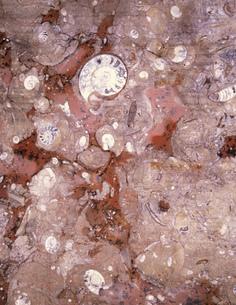 アンモナイト他化石 メルズーカの写真素材 [FYI04010920]