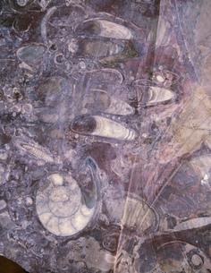 アンモナイト他化石 メルズーカの写真素材 [FYI04010927]