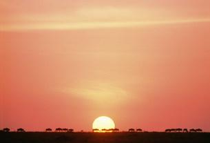 朝日とヌーの群れ マサイマラ動物保護区の写真素材 [FYI04011004]
