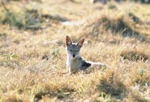セグロジャッカル マサイマラ動物保護区の写真素材 [FYI04011006]