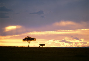 夕焼け雲とヌー マサイマラ動物保護区の写真素材 [FYI04011009]
