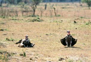 ハゲワシの羽の乾燥 マサイマラ動物保護区の写真素材 [FYI04011018]
