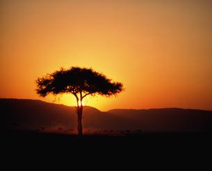 朝日と木 マサイマラ動物保護区の写真素材 [FYI04011023]