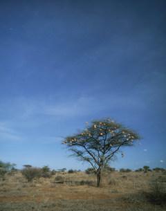 ハタオリ鳥の巣と木サンブール国立公園の写真素材 [FYI04011024]