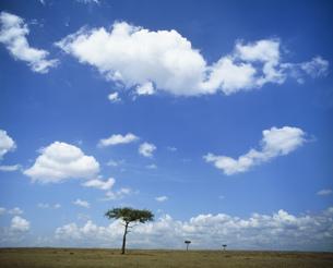 マサイマラ動物保護区の雲と木の写真素材 [FYI04011025]