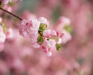 八重桜の写真素材 [FYI04011104]