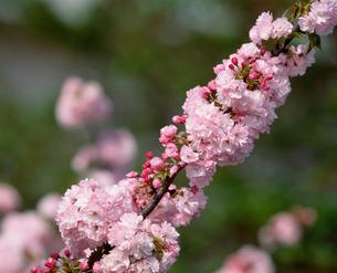 八重桜の写真素材 [FYI04011105]