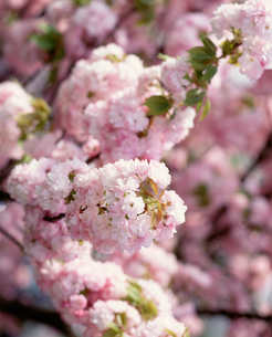八重桜の写真素材 [FYI04011106]
