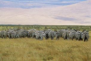 しまうまのお尻 ンゴロンゴロ保全地域の写真素材 [FYI04011115]