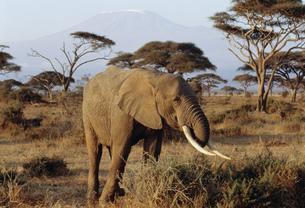 アフリカ象 アンボセリ国立公園の写真素材 [FYI04011119]
