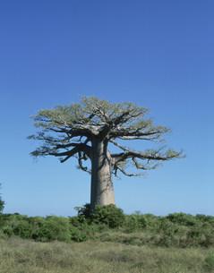 バオバブの木の写真素材 [FYI04011149]