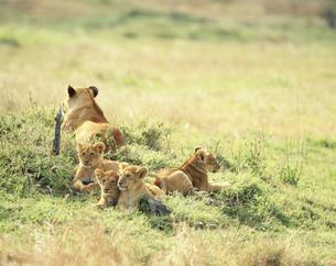 ライオンの子供 マサイマラの写真素材 [FYI04011184]