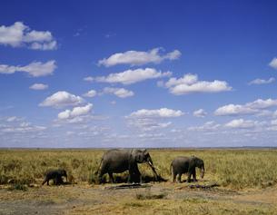 アフリカ象 アンボセリの写真素材 [FYI04011197]