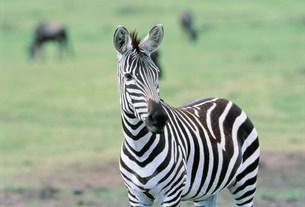 シマウマ マサイマラ動物保護区の写真素材 [FYI04011230]