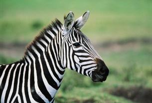 シマウマ マサイマラ動物保護区の写真素材 [FYI04011232]