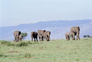 アフリカ象の群れ マサイマラ動物保護区の写真素材 [FYI04011238]