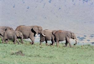 アフリカ象の群れ マサイマラ動物保護区の写真素材 [FYI04011239]