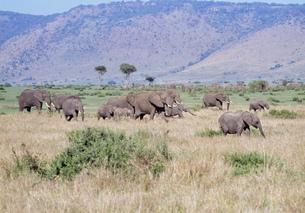 アフリカ象の群れ マサイマラ動物保護区の写真素材 [FYI04011240]