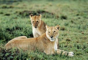 ライオン マサイマラ動物保護区の写真素材 [FYI04011243]