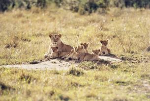 ライオン マサイマラ動物保護区の写真素材 [FYI04011246]
