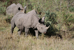 黒サイ マサイマラ動物保護区の写真素材 [FYI04011248]