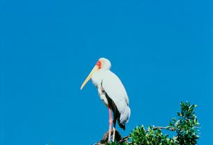 アフリカトキコウ マサイマラ動物保護区の写真素材 [FYI04011257]