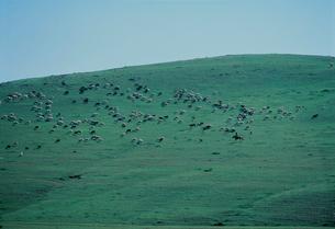 羊の群れの写真素材 [FYI04011263]