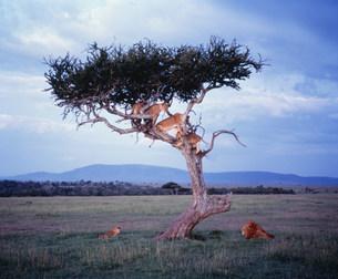木登りライオン マサイマラの写真素材 [FYI04011282]