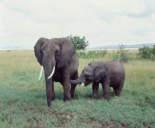 アフリカ象 マサイマラの写真素材 [FYI04011287]