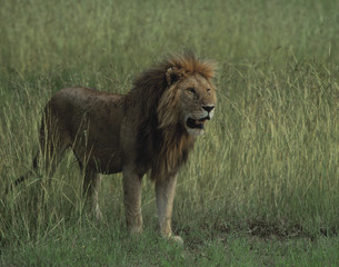ライオンの写真素材 [FYI04011334]