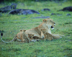 マサイマラのライオンの写真素材 [FYI04011335]